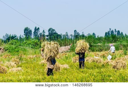 Wheet havest An Giang Long Xuyen Farmers working on the Field with Rice breakers