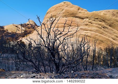 Charcoaled landscape with burnt trees and plants caused by a record drought including the sandstone Mormon Rocks beyond taken after the Blue Cut Fire taken in Cajon, CA