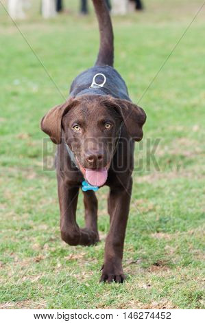 Chocolate Labrador puppy running across grass at park while looking ahead.