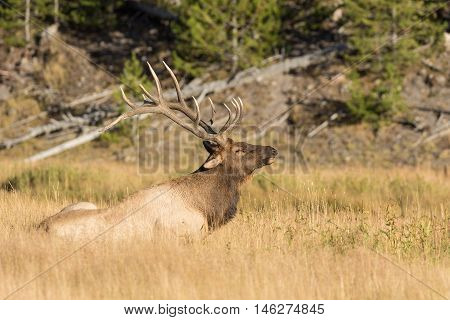 bull elk getting up form his bed in meadow during the rut