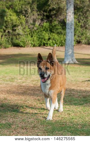 Mixed breed Akita dog running across grass with happy expression.
