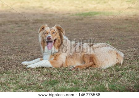 Red Merle Australian Shepard lying on grass with happy expression.