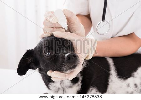 Close-up Of A Vet Applying Eye Drop In Dog's Eye