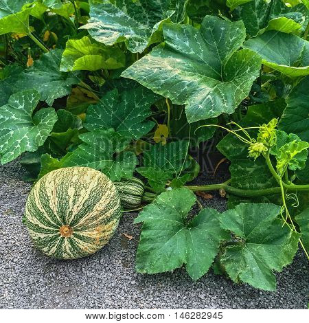 Green Cushaw squash growing in autumn garden. Vegetable patch.