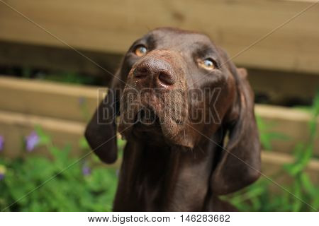 German Shorthaired Pointer female 11 months old