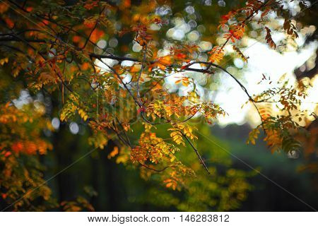 Autumn in the park: golden rowan tree leaves in the sunlight. Shallow depth of field