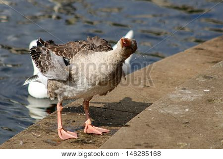 A Greylag goose shaking water from it's feathers