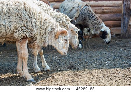 ram and a group of sheep grazing behind the fence in the corral Farm. Breeding animals at home.