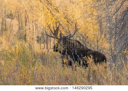 a big bull moose in a fall landscape in wyoming