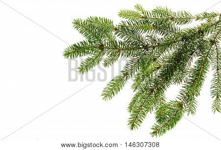 Fir tree branch on a white background. Close up. Christmas decoration.