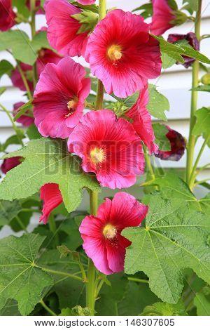 Magenta holly hock flower stem in garden