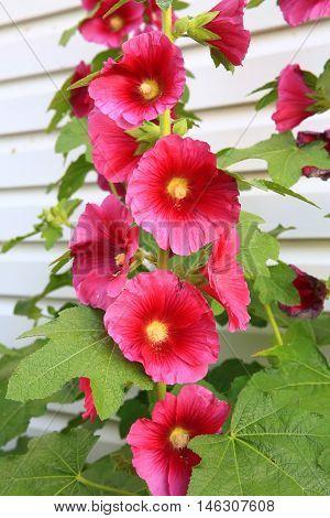 Deep magenta full stem of holly hock blooms