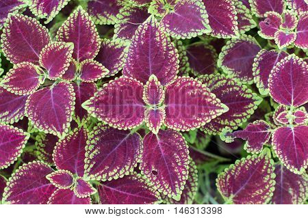 Coleus plant with green edges beautiful background of geranium leaves