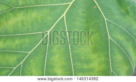Teak leaf macro background