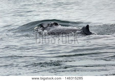 Fin and nostrils on the back of humpback whale in the Pacific Ocean. Water area near Kamchatka Peninsula.