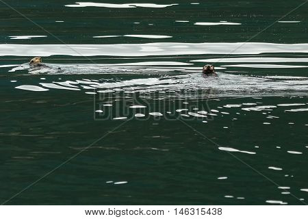 Sea otter in the Pacific Ocean. Water area near Kamchatka Peninsula.