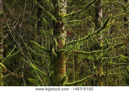 a picture of an exterior Pacific Northwest forest with mossy  Douglas fir trees