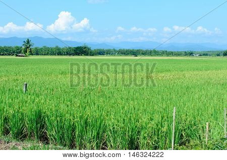 Beautiful Green Rice Paddy Field. Rice Terrace, Thailand