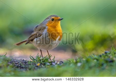 Robin Foraging On The Ground
