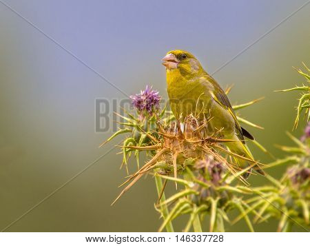 Greenfinch Eating Thistle Seeds