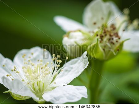 Macro close up on pair of pretty white flowers with long stamen for concept about the fragile and beautiful reality of ecosystems