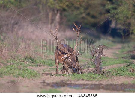 Red Deer Bathing In Mud