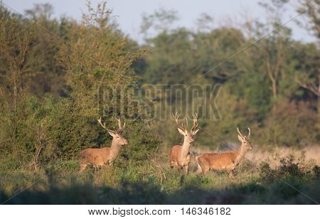 Three Red Deer In Forest
