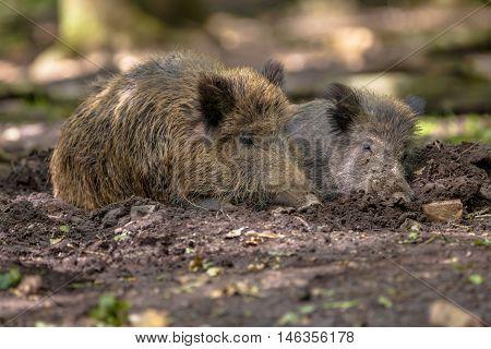 Two Wild Boar