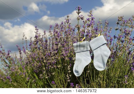 Baby blue socks and lavender field in the countryside