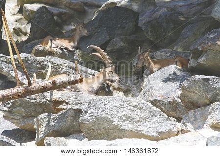 Group of capricorns on grey stone mountain