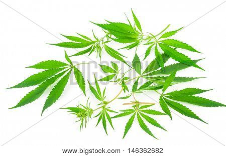 Cannabis (marijuana) plants