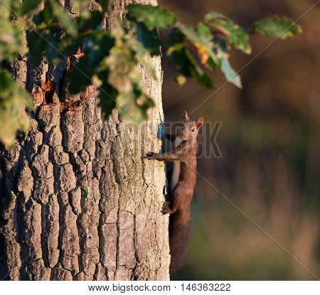 Red Squirrel On Oak Tree