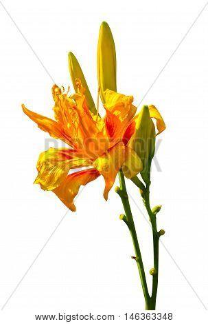 lily flowers isolated. lily flowers. lily flowers isolated on white background.