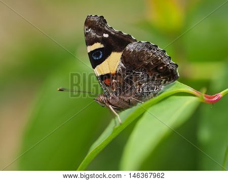 Butterfly Yellow Admiral, Vanessa Itea, Male, Australian Butterfly Warming Its Wings In The Sun