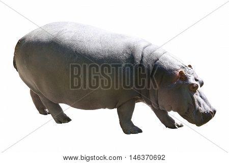 the big hippopotamus isolated on white background