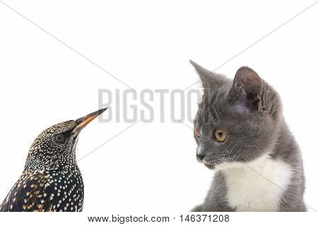 starling and cat on a white background