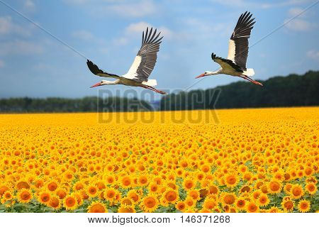 two storks fly over a sunflower field