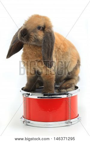 brown rabbit sitting on a drum isolated on white, studio shot