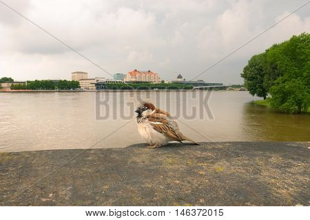 sparrow sitting on a background of the river Elbe in Dresden Germany