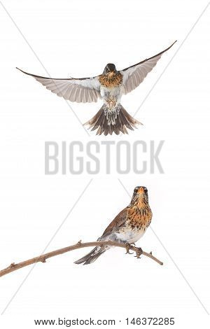 isolated flying thrush on a white background