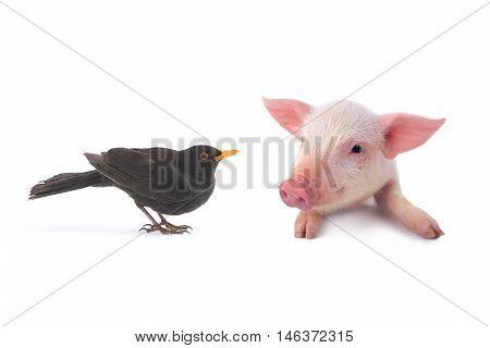 pig and turdus merula on a white background. studio
