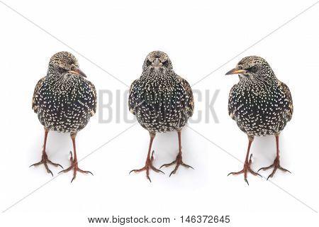 Three Starlings (Sturnus vulgaris) isolated on white. Studio shot.