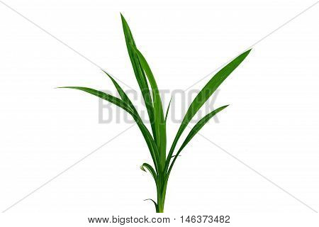 Blade of grass isolated on white background.