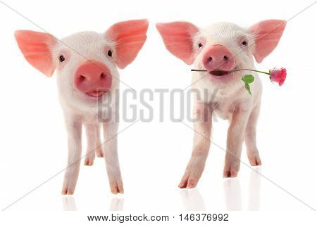 smile a pigs with a rose flower on a white background