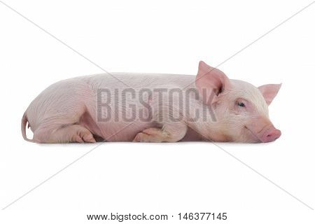 pig lies on a white background. studio