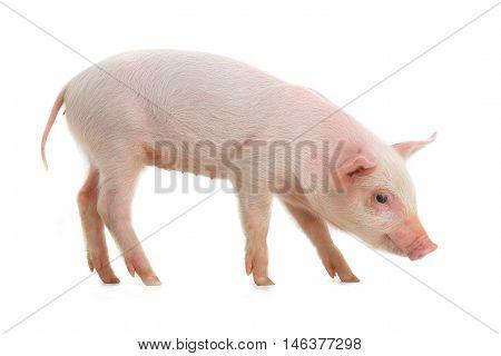 pig on a white background, studio shot
