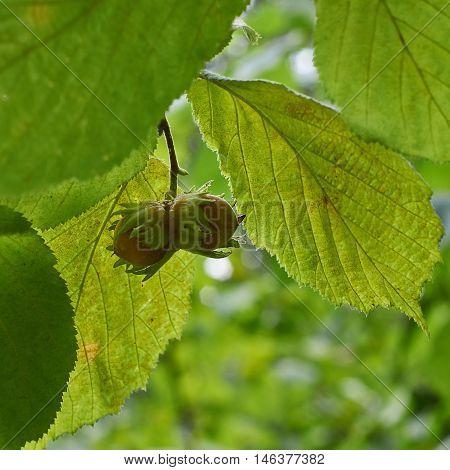 Ripe fruit on the branch forest hazel. Corilus avellana.