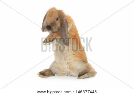 the a rabbit costs on hinder legs, studio shot