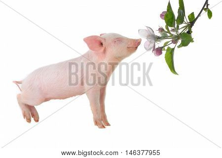 the a piglet smells a flower , studio shot