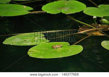 colorful frog on a large sheet of water lily